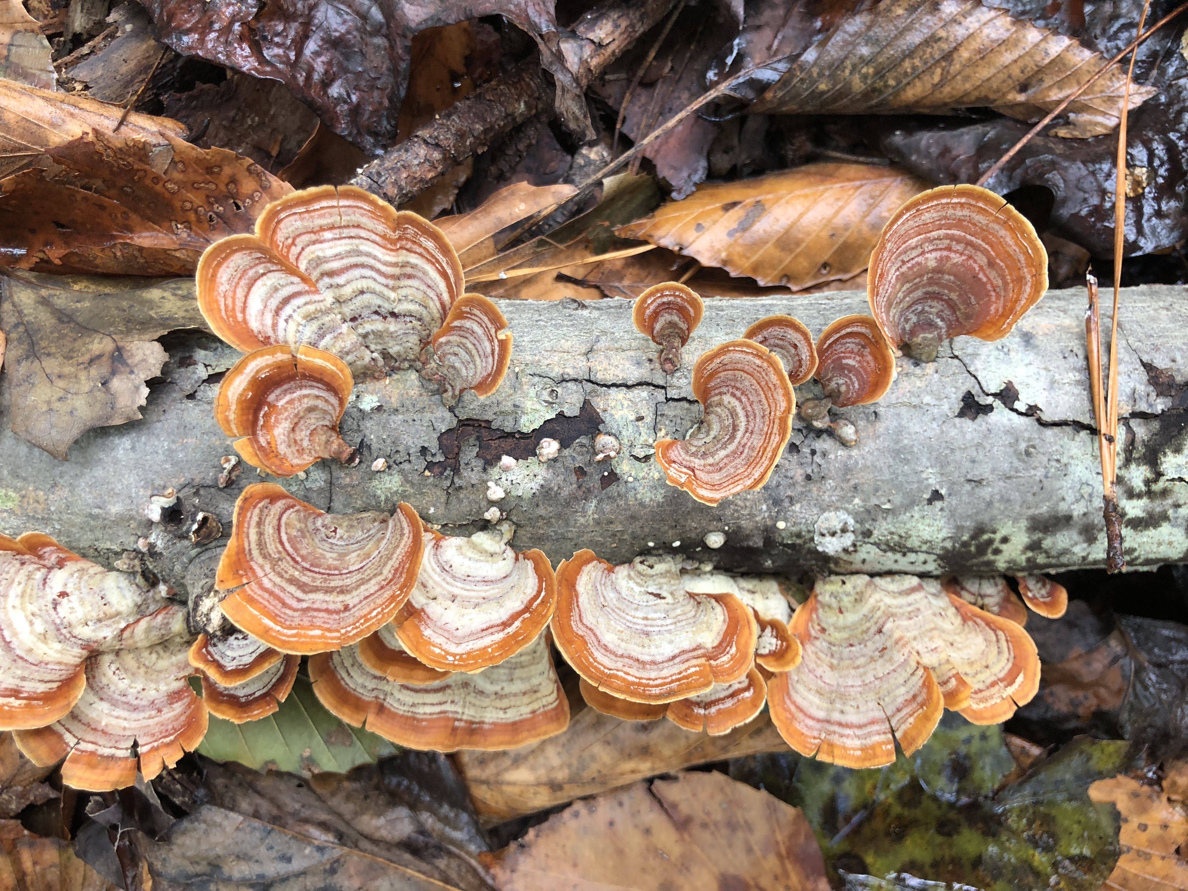 Stereum ostrea (also called false turkey-tail and golden curtain crust)